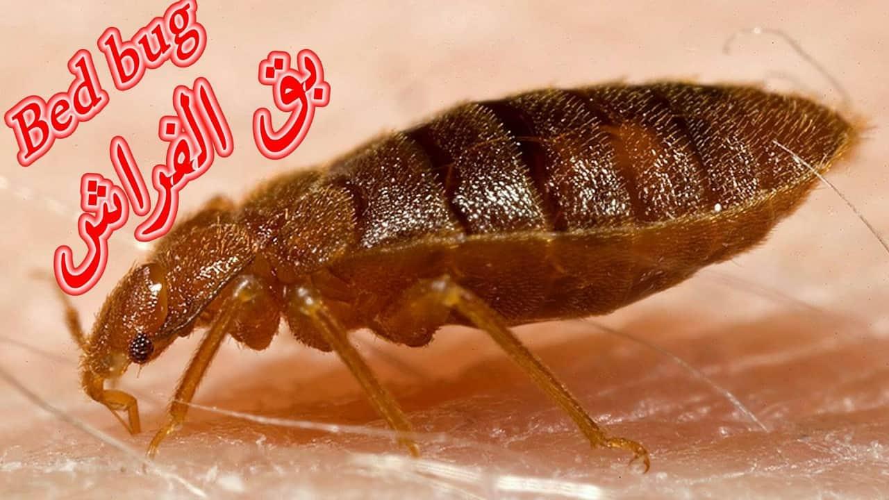 مكافحة بق الفراش بالعين - رش حشرات بالعين