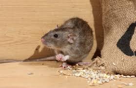 ارخص مكافحة فئران بعجمان - ابادة قوارض فى عجمان