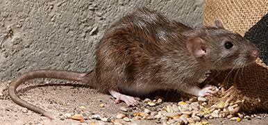 مكافحة فئران بالعين - ابادة فئران بالعين